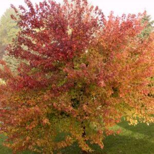 Acer rubrum 'Magnificent Magenta''
