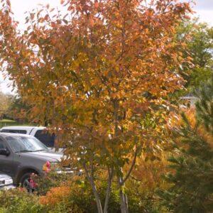 Amelanchier x grandiflora 'Autumn Brilliance