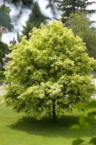 "Acer plantanoides 'varigated maple"""
